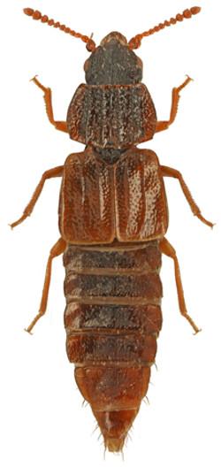 Pseudopsis sulcata