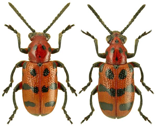 Crioceris quatuordecimpunctata