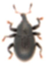 Leiosoma oblongulum.jpg