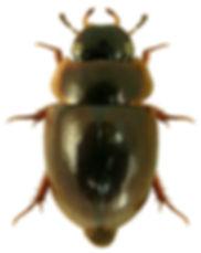 Anacaena globulus 1lb.jpg