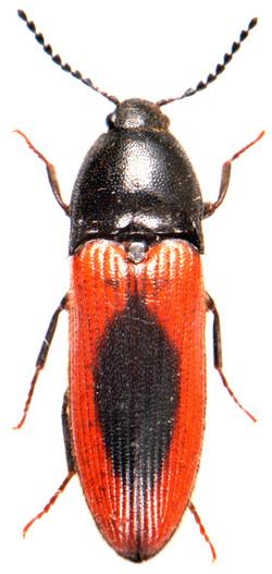 Ampedus sanuinolentus 1