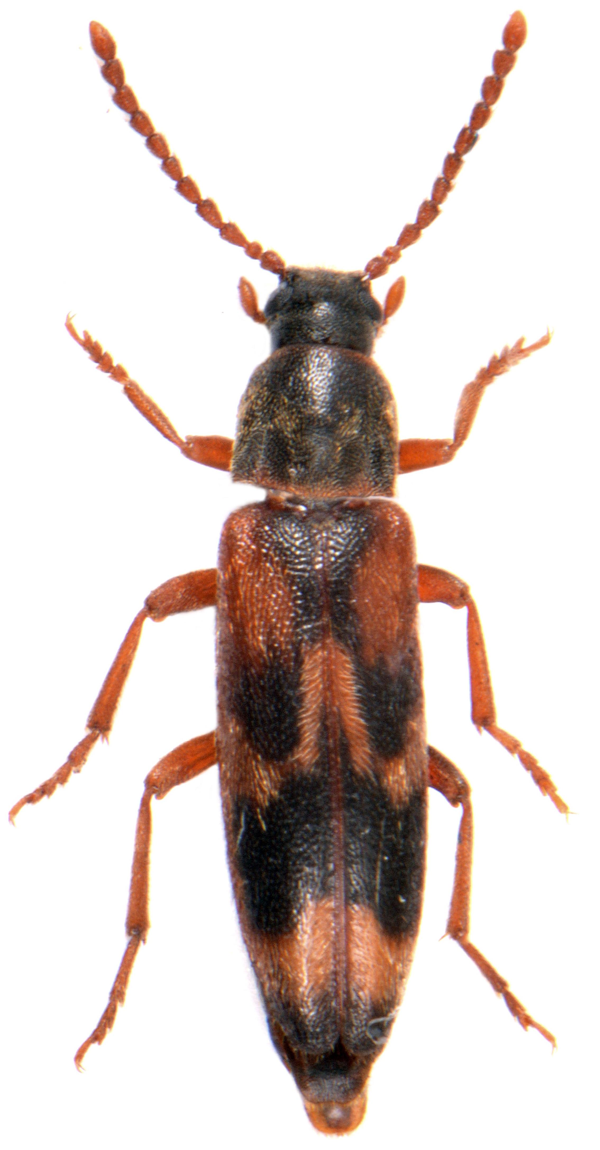 Hypulus quercinus 2
