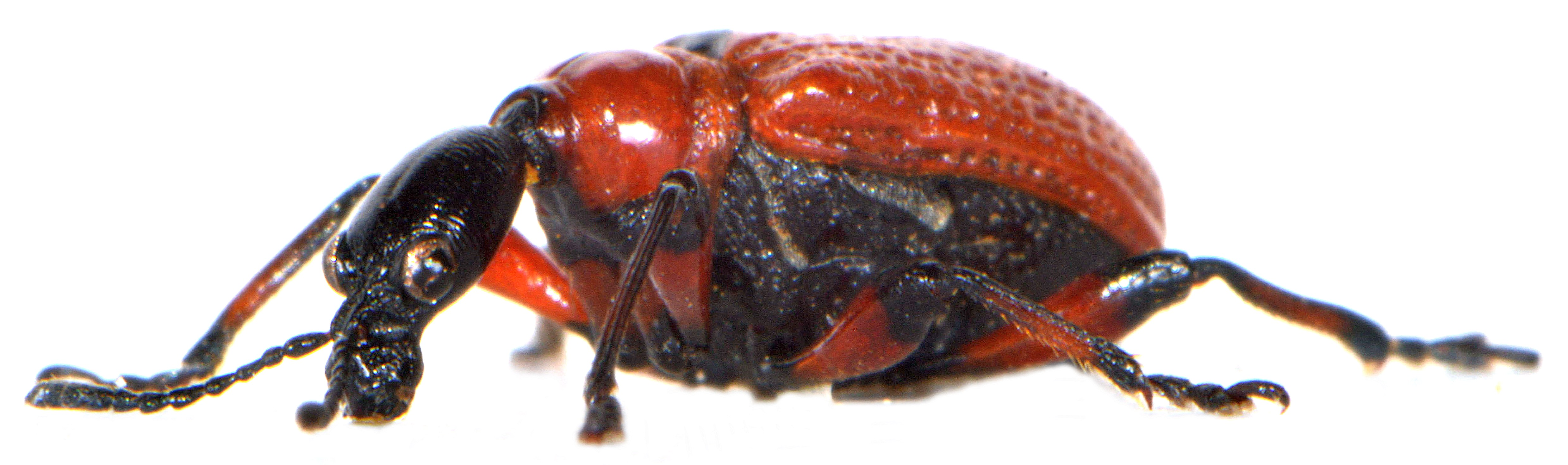 Apoderus coryli 5