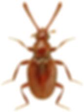 Scydmoraphes sparshalli.jpg