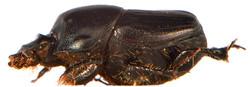 Onthophagus taurus 6