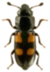 Glischrochilus quadripustulatus 1.jpg