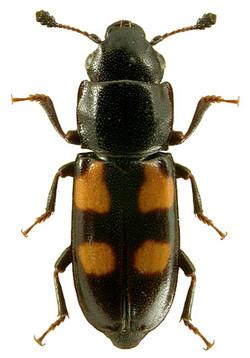 Glischrochilus quadripustulatus 1