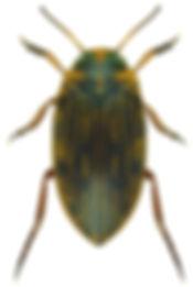 Boreonectes multilineatus.jpg