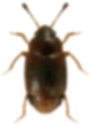Proteinus laevigatus.jpg