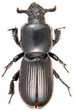 Prioproctus oertzeni (Pycnocerini)