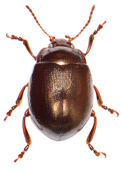 Chrysolina staphylaea 3
