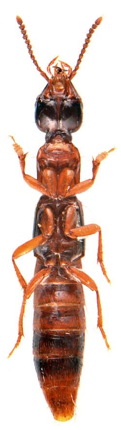 Atrecus affinis 3