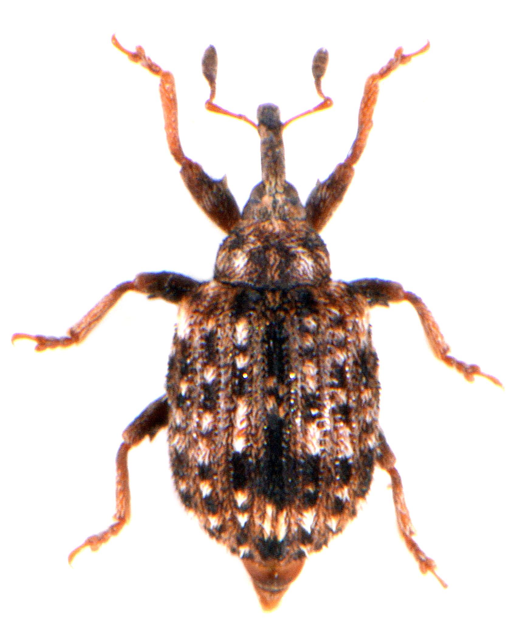 Cleopus pulchellus 2