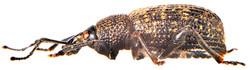 Otiorhynchus sulcatus 4