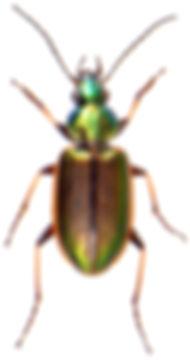 Agonum marginatum 1.jpg