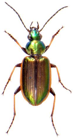 Agonum marginatum