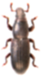Rhyncolus ater 1.jpg