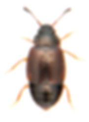 Proteinus crenulatus 1.jpg