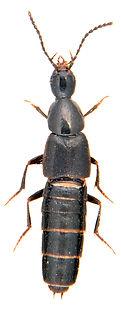 Philonthus nigrita 1.jpg