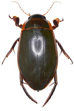 Dytiscus marginalis ♂