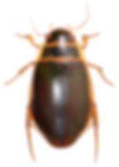 Dytiscus circumcinctus 1.jpg