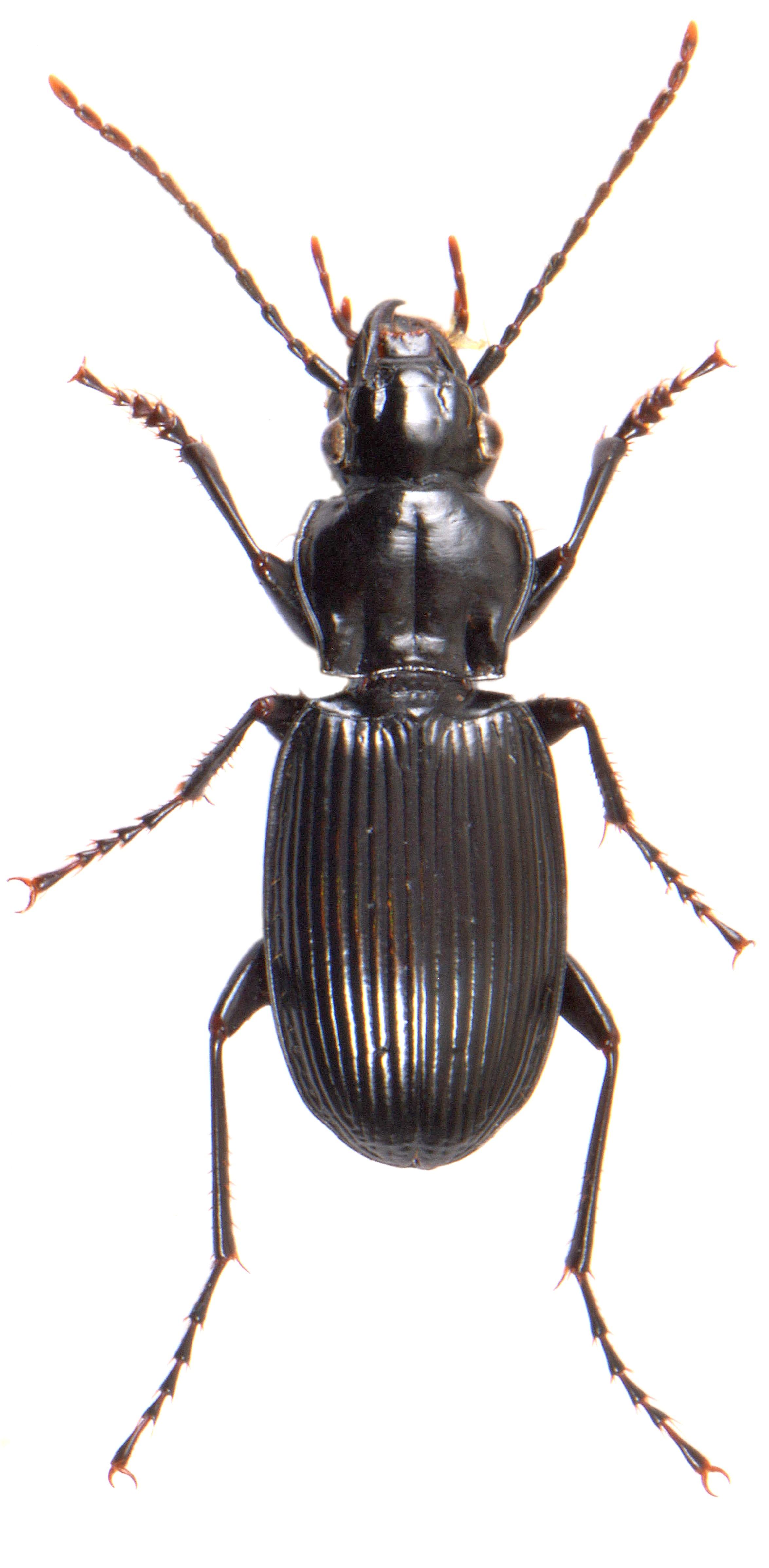 Pterostichus cristatus