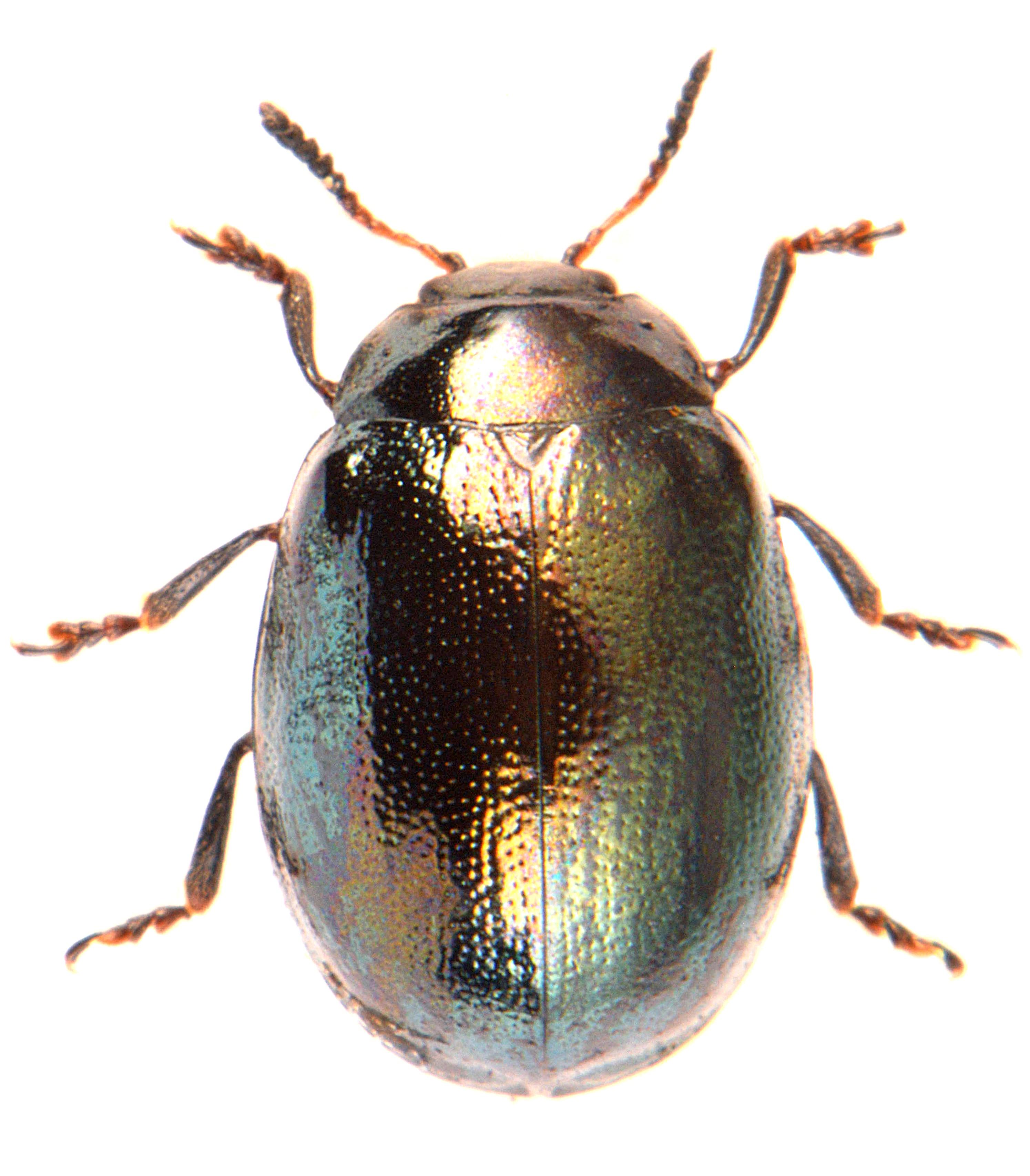 Plagiodera versicolora 2