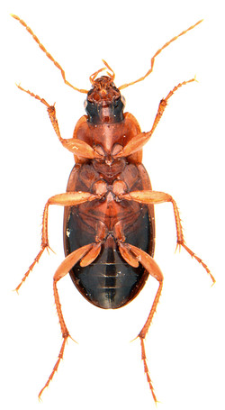 Calathus melanocephalus 3