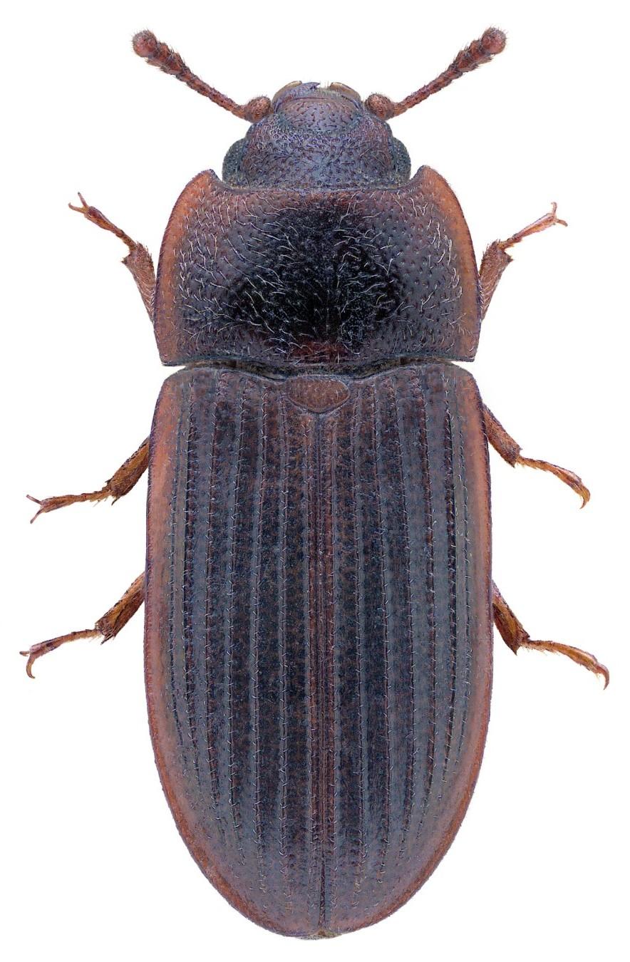 Lophocateres pusillus