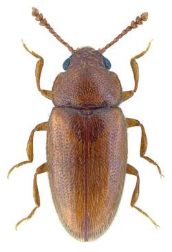 Cryptophilus propinquus 2