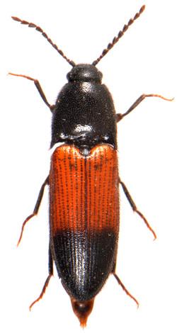 Ampedus balteatus 1