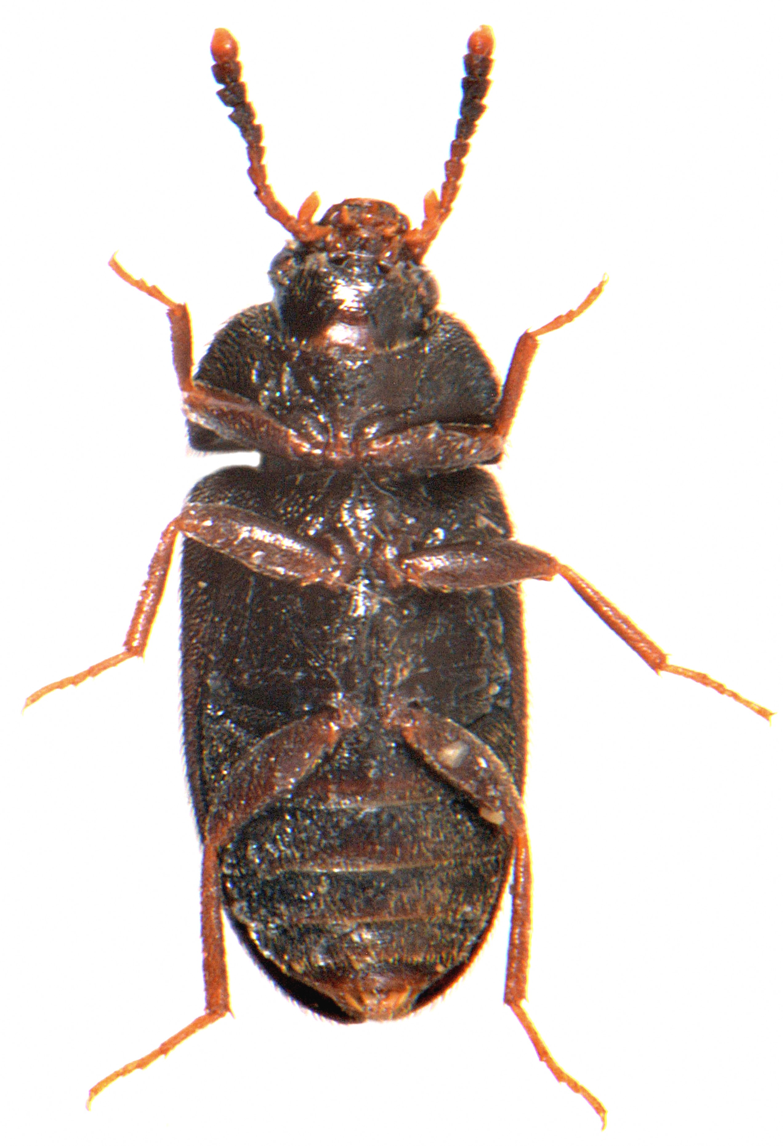 Mycetophagus atomarius 3
