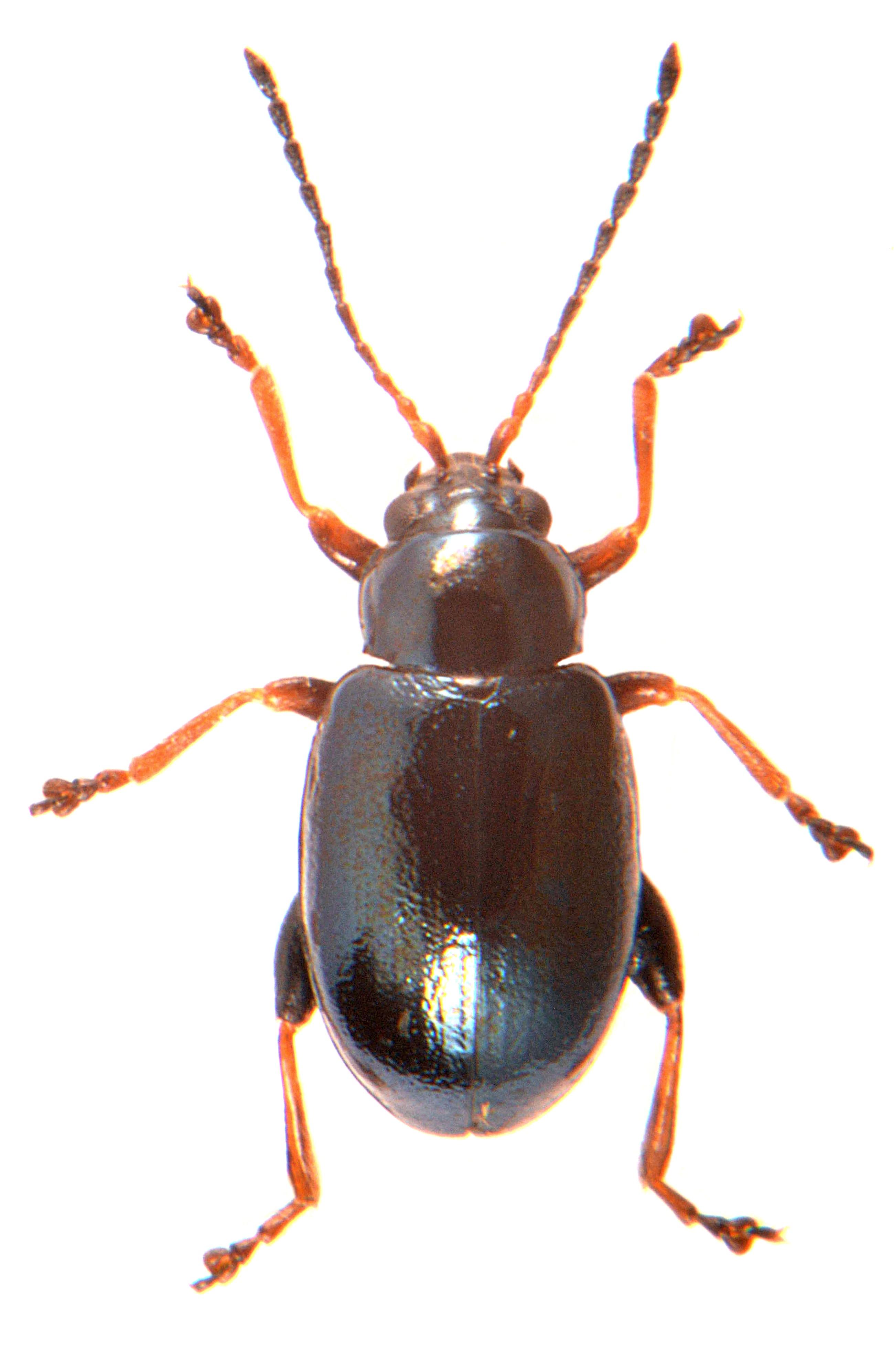 Aphthona nonstriata 1