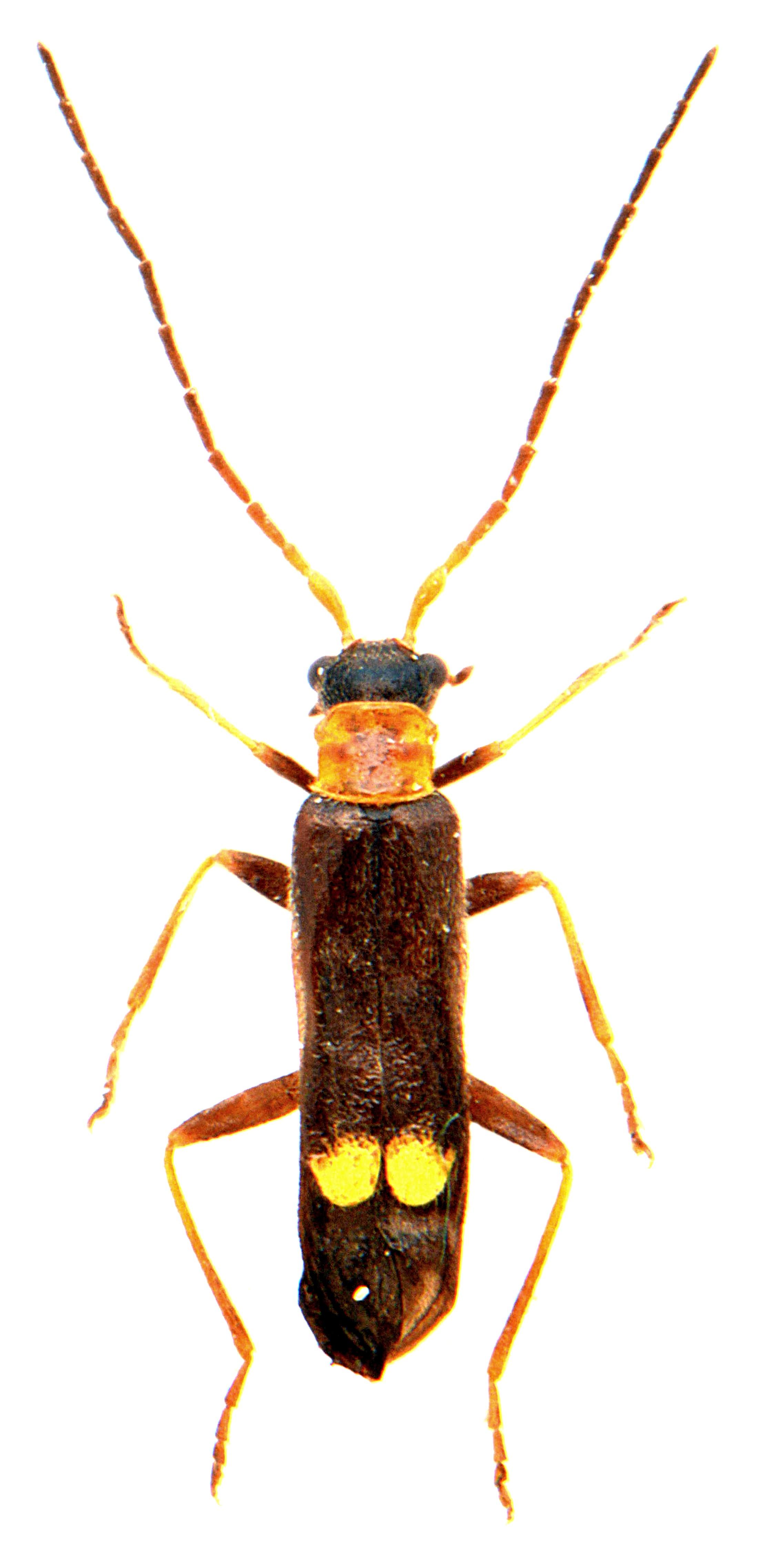 Malthodes minimus 1