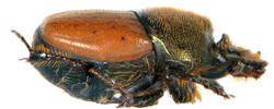 Onthophagus coenobita 4