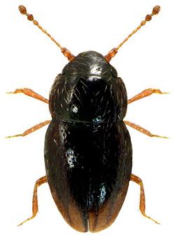 Ptenidium pusillum 1