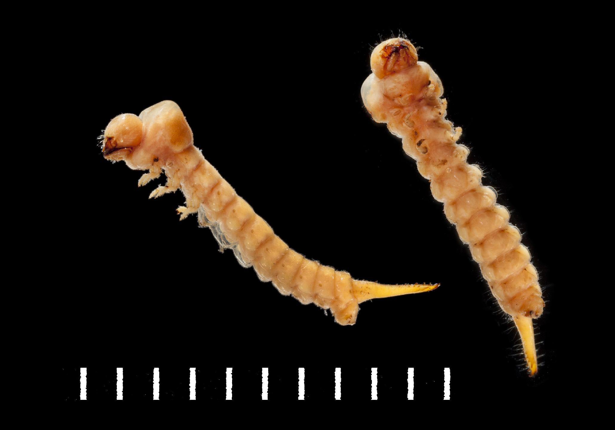 Hylecoetus dermestoides larva