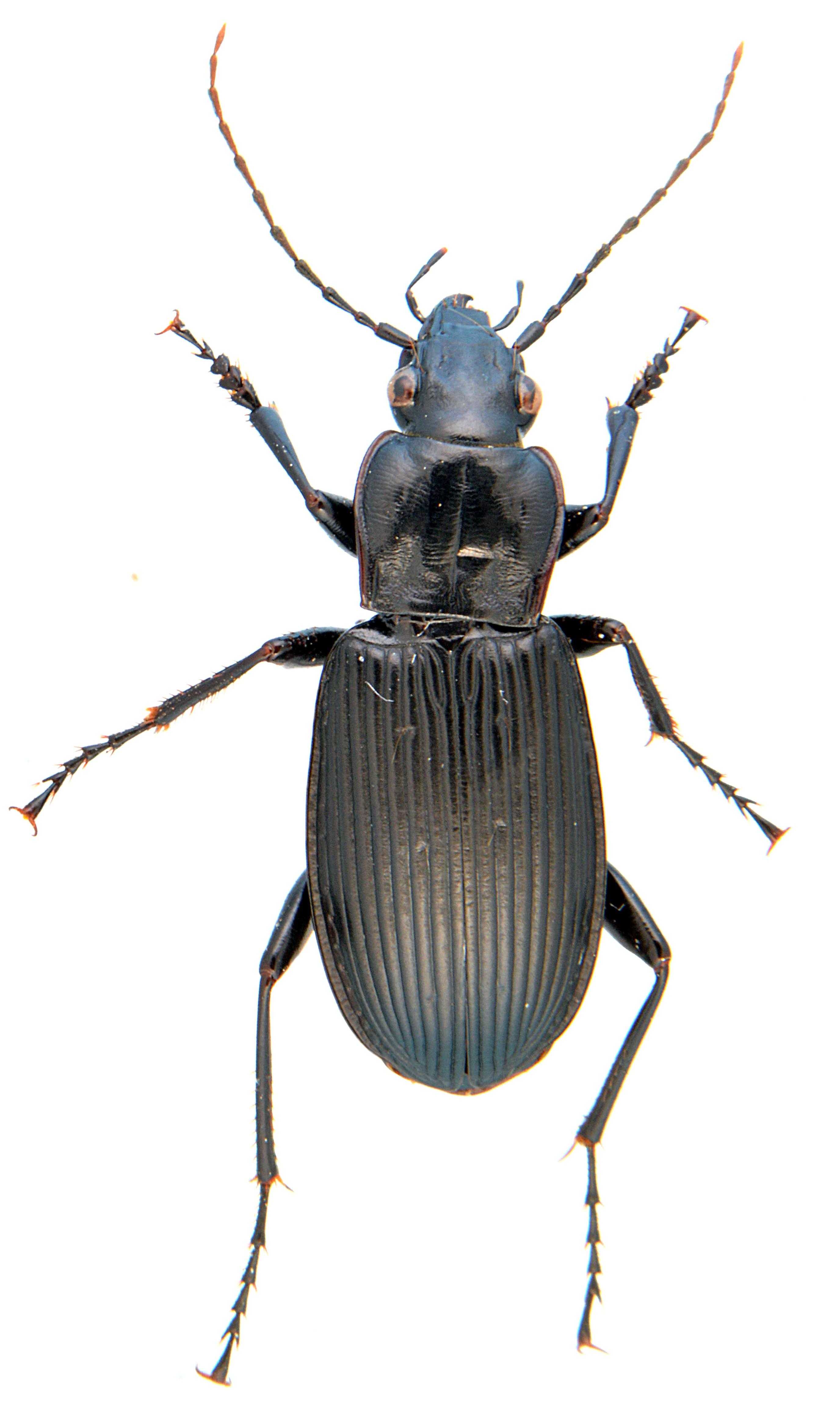 Pterostichus niger 3