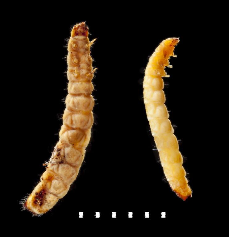 Aulonium trisulcus larvae