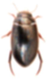 Ilybius aenescens 1.jpg