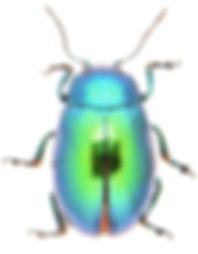 Chrysolina graminis 2.jpg