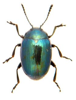 Phaedon armoraciae