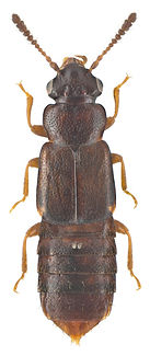 Phloeostiba lapponica.jpg
