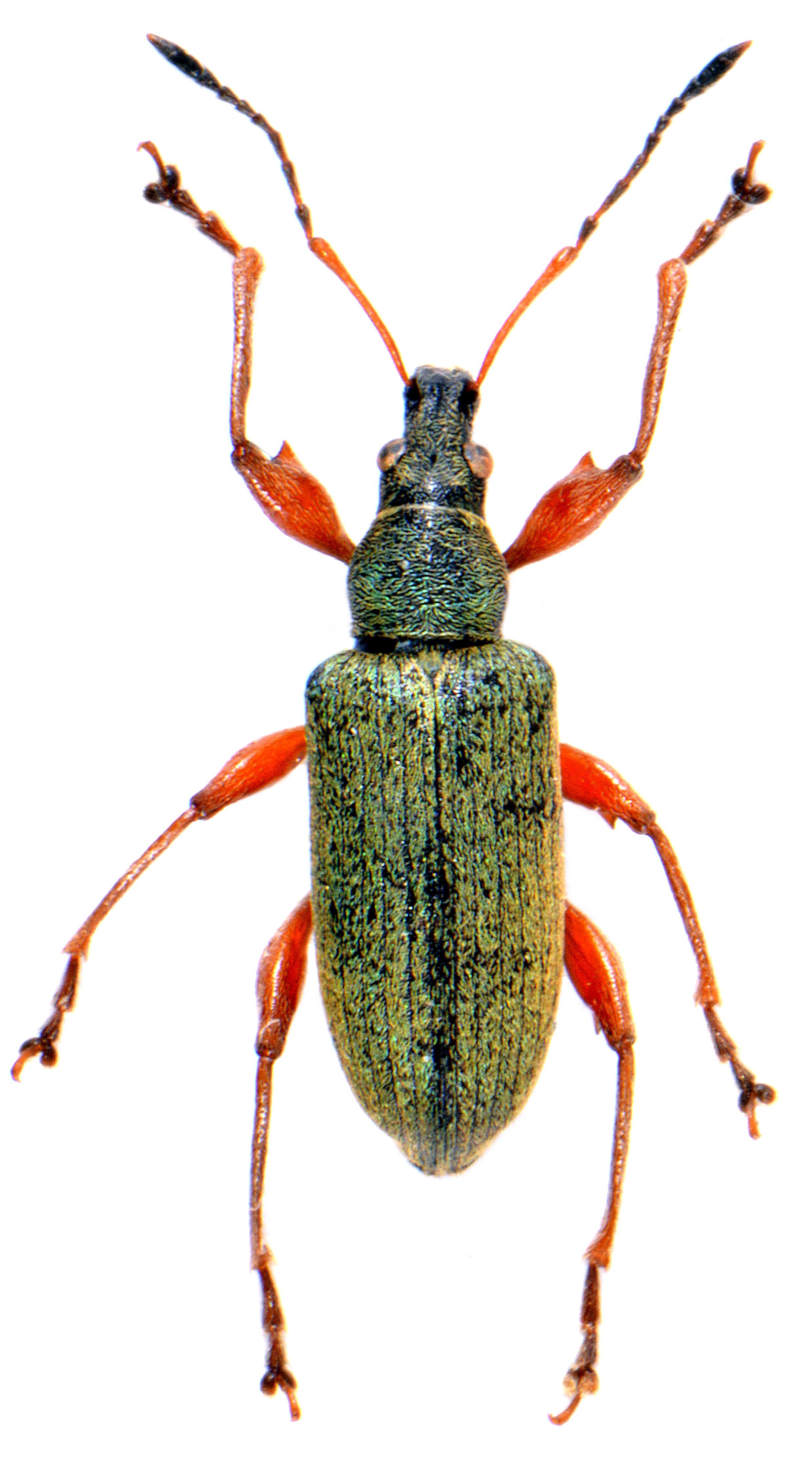 Phyllobius glaucus 1