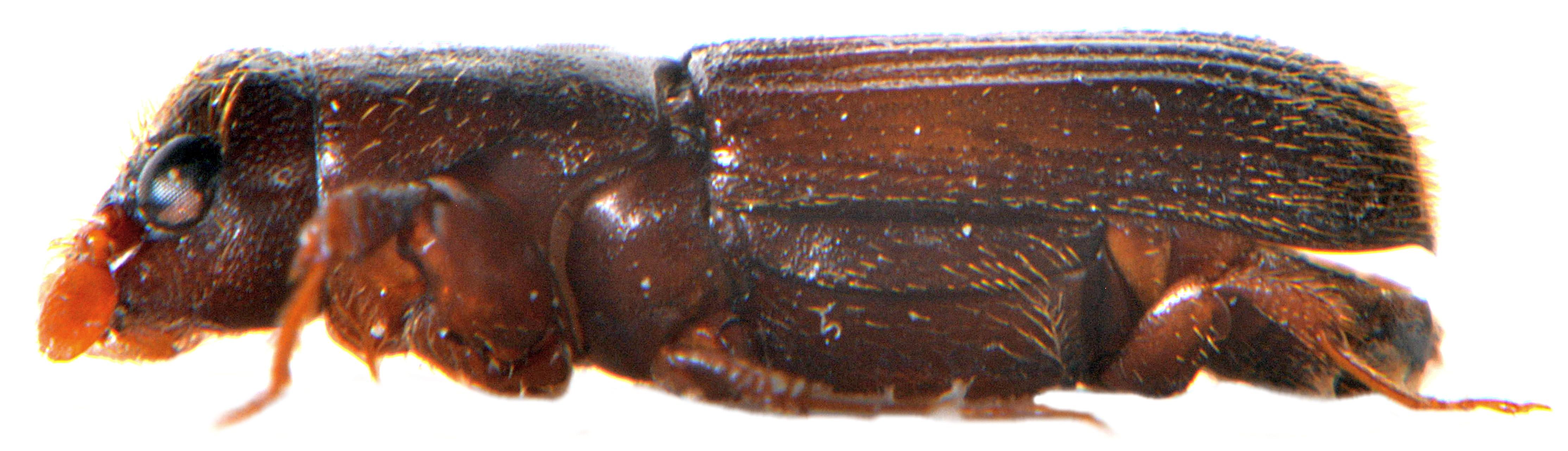 Platypus cylindrus ♀