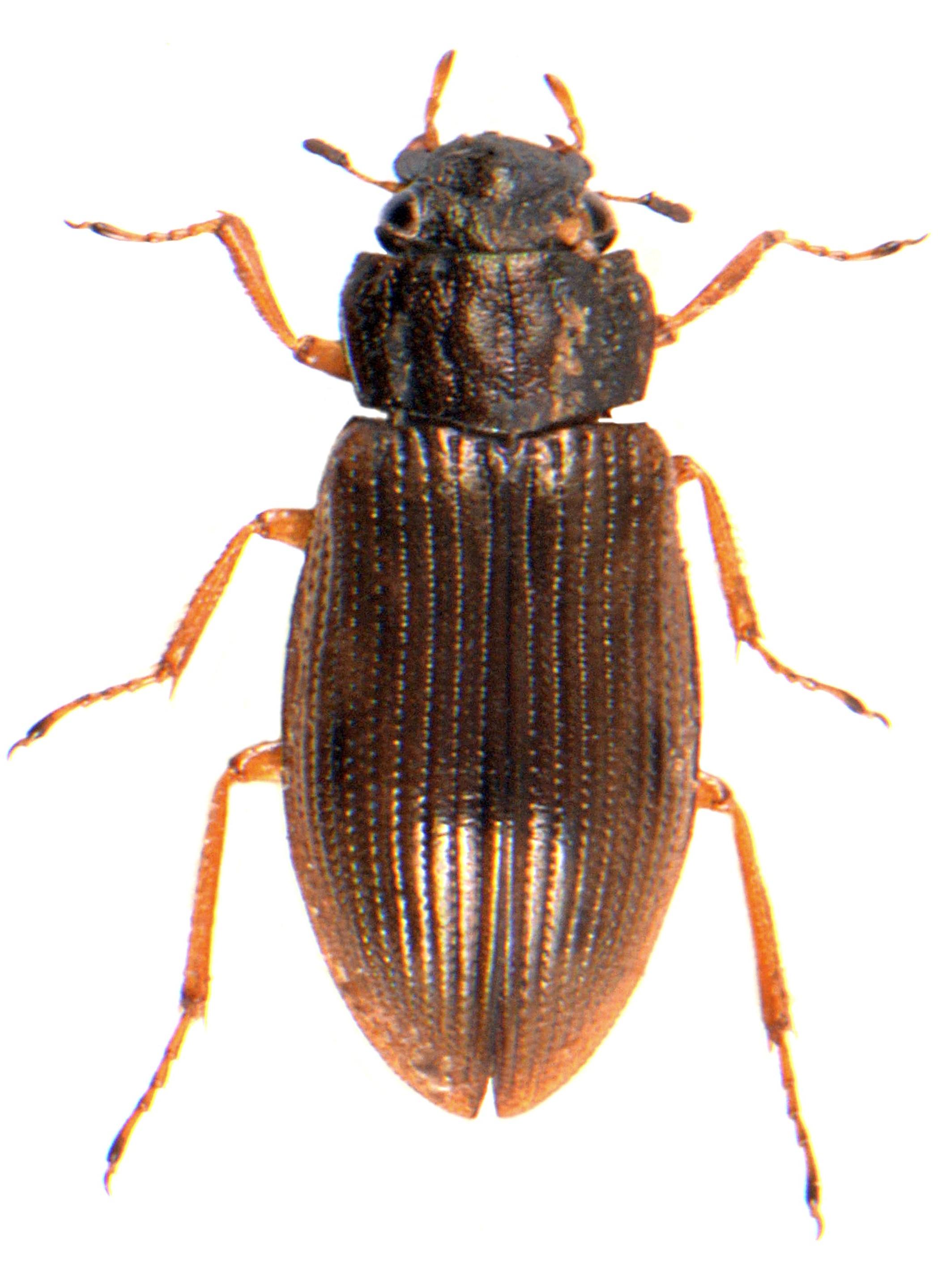 H. (Rhopalhelophorus) flavipes
