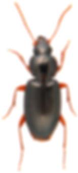Synuchus vivalis.jpg