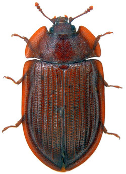 Ostoma ferrugineum 1