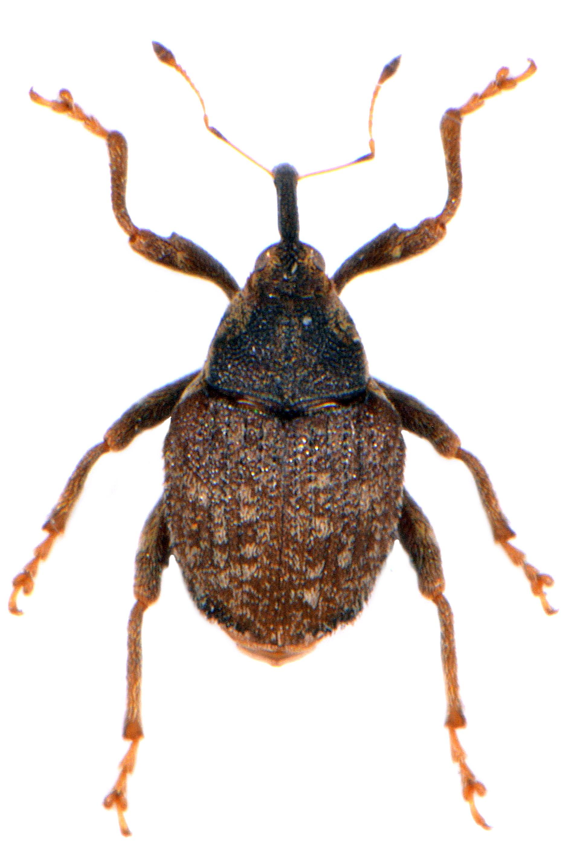 Parathelcus pollinarius 1