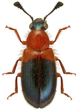 Necrobia ruficollis